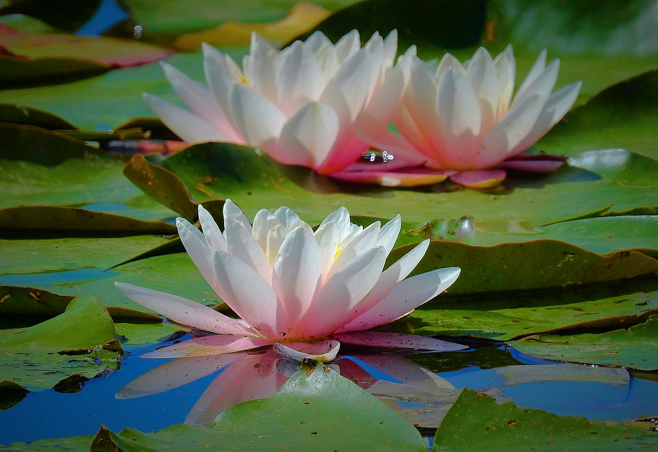 water-lilies-3578444_1280